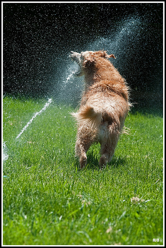 Sprinkler dog